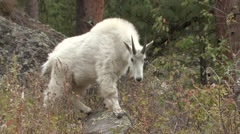 Mountain Goat Adult Feeding Fall - stock footage