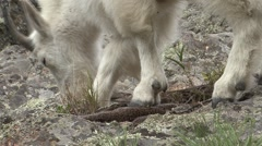 Mountain Goat Adult Feeding Fall Feet Closeup Stock Footage
