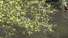 River Birch Fall Stock Footage