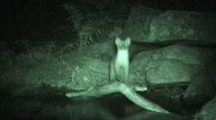 Stock Video Footage of American Marten Lone Fall Night Pine Infrared