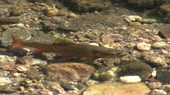 Brook Trout Lone Fall Water Quality Zoom Out Stock Footage