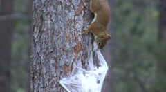 Red Squirrel Lone Nesting Fall Nuisance Material Zoom Out - stock footage