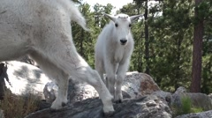 Mountain Goat Young Fall Stock Footage