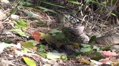 Least Chipmunk Feeding Fall Acorn - stock footage