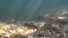Brook Trout School Fall Underwater Stock Footage