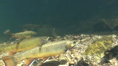 Brook Trout Many Fall Underwater Stock Footage