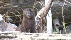 Mink Lone Hunting Fall Closeup Stock Footage