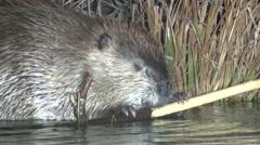 Beaver Lone Feeding Fall Night Spotlight Stock Footage