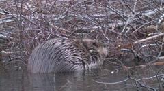 Beaver Lone Feeding Fall Dusk Food Cache Stock Footage