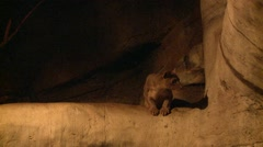 Fossa Lone Night Indoor Stock Footage