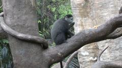 Blue Monkey Lone Climbing Stock Footage