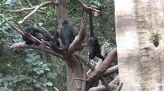 Spider Monkey Several Prehensil Tail Stock Footage