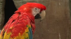 Scarlet Macaw Closeup - stock footage