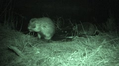Beaver Pair Grooming Fall Night Infrared Stock Footage