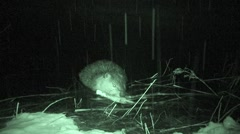 Beaver Lone Collecting Fall Night Snowing Branch Infrared - stock footage