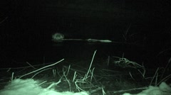 Beaver Lone Feeding Fall Night Infrared - stock footage