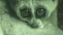 Pygmy Slow Loris Night Eyes Closeup Infrared Stock Footage