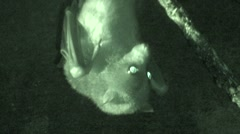 Little-golden Mantled Fruit Bat Resting Night Closeup Cave Infrared Stock Footage