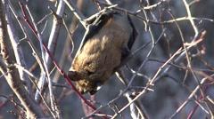 Big Brown Bat Lone Alarmed Fall Stock Footage