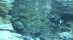 River Otter Pair Swimming Winter Underwater - stock footage