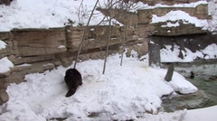 Beaver Lone Collecting Winter Chewing Cutting Tree - stock footage