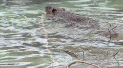 Beaver Lone Swimming Winter Branch Stock Footage