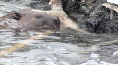 Beaver Lone Collecting Winter Dam Stock Footage