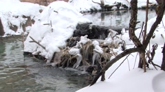 Beaver Lone Collecting Winter Dam Branch Walking Stock Footage