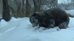 Russian Brown Bear Winter Digging Stock Footage