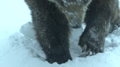 Stock Video Footage of Russian Brown Bear Winter Digging Claws Snow Closeup