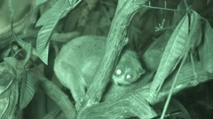 Pygmy Loris Night Infrared Stock Footage