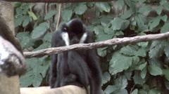 White-cheeked Gibbon - stock footage