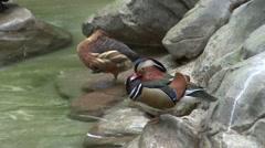 Mandarin Duck Male Resting Stock Footage