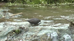 Dipper Lone Feeding Summer Water Rapids - stock footage
