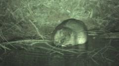 Beaver Lone Feeding Winter Night Infrared - stock footage