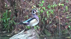 Wood Duck Drake Lone Alarmed Winter Stock Footage