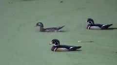 Wood Duck Drake Hen Several Swimming Winter Stock Footage