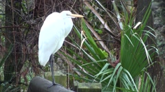 Great Egret Lone Winter Stock Footage