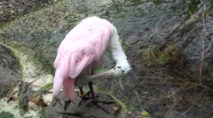 Roseate Spoonbill Lone Grooming Winter Stock Footage