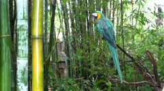 Blue-and-yellow Macaw Lone Winter Stock Footage