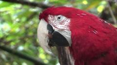 Scarlet Macaw Lone Winter Closeup Stock Footage