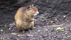 St. Vincent Agouti Feeding Winter Stock Footage