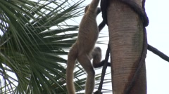 Spider Monkey Climbing Winter Stock Footage