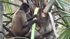 Spider Monkey Resting Winter Stock Footage