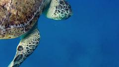 16of16 Sea turtle, marine reptile, wildlife, animal swimming, Red Sea - stock footage
