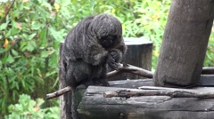 White-faced Saki Female Adult Winter Stock Footage