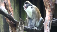 Lesser Spot-nosed Guenon Adult Winter Stock Footage