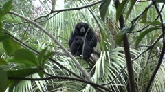 Siamang Lone Resting Winter Stock Footage