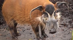 Red River Hog Winter Closeup Stock Footage