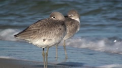 Willet Pair Resting Winter Stock Footage